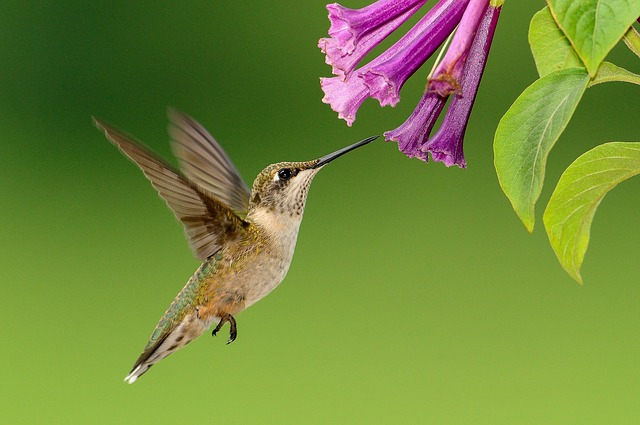 Hummingbird via https://pixabay.com/en/hummingbird-flying-feeding-wildlife-1056383/
